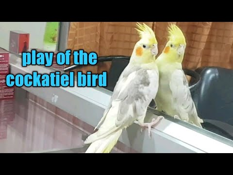 Play Of The Cockatiel Parrot/Australian Cockatiel Bird With Mirror/cockatiel Parrot Give Handshake
