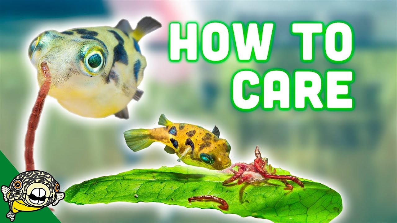 How to care for dwarf puffer fish youtube for Dwarf puffer fish