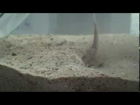 Conus Striatus Fish Attack
