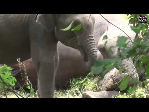 Слоненок отчаянно пытался разбудить убитую мать и попал на видео