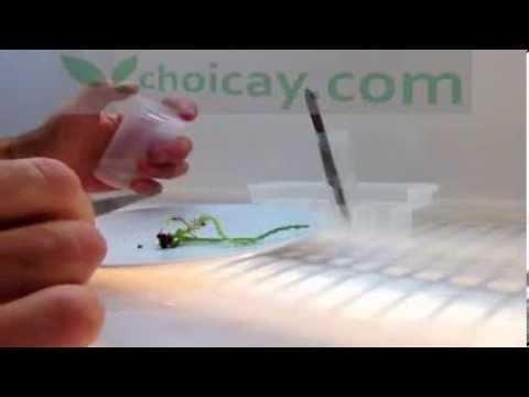 Thí nghiệm nuôi cấy mô thực vật