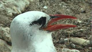 Red-Tailed Tropic Bird #1