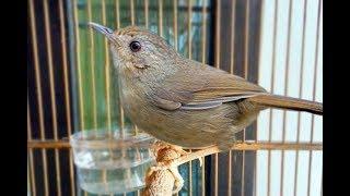 Kicau Burung Hwa Mei Mini Gacor Suara Jernih Bervariasi