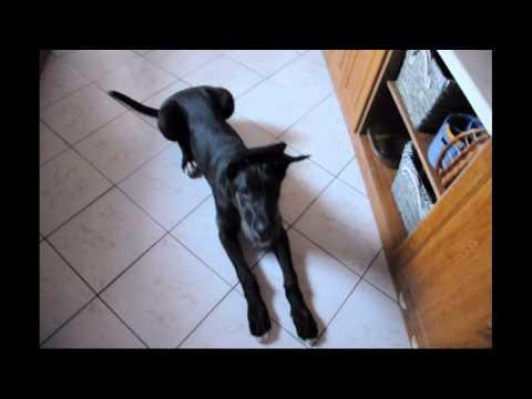 Felix the great dane mixed irish wolfhound Puppy time