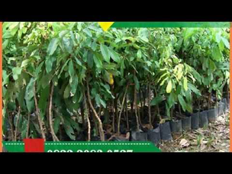 Bibit Kelengkeng Pingpong Malang,  0822.2083.0527 (Tsel)