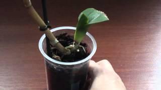 Как поливать орхидею без корней(, 2015-11-12T16:00:01.000Z)