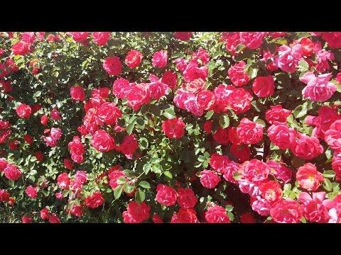 Плетистые розы floweronegoru