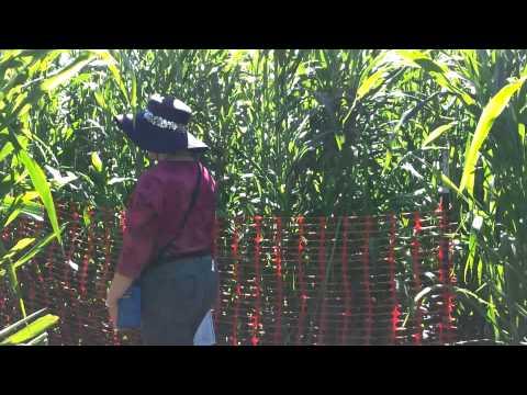 Hondo Corn Maze