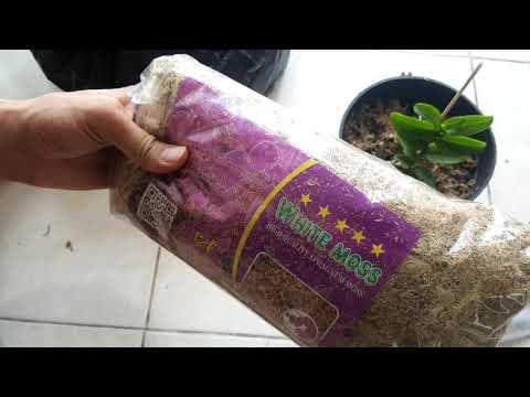 Sử dụng rêu trắng trồng lan giúp giữ ẩm cực tốt trong mùa hè   Foci