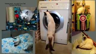 Тайский котик хочет управлять стиркой! Улётное видео! Тайские кошки - это чудо! Funny Cats