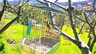 تغريد طائر الحسون جميل جدا. مقنين خلوي صوت وصورة