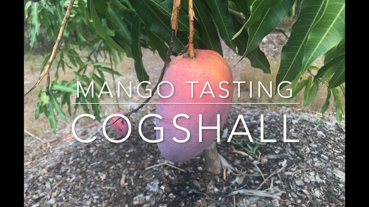 Florida Mango Tasting 2017 Cogshall Youtube