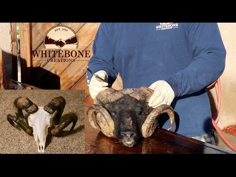 "HOW TO CLEAN A KARAKUL  SHEEP SKULL ""GRAPHIC"""