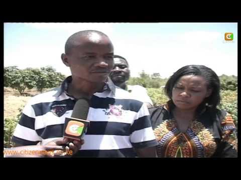 Yatta Farmers Turn to Cassava Farming