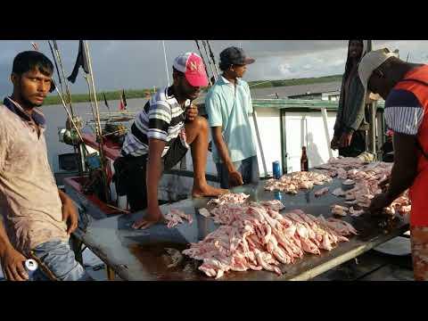 Guyana 🇬🇾 Wild Caught .Guyana  🇬🇾 Fisheries Limited