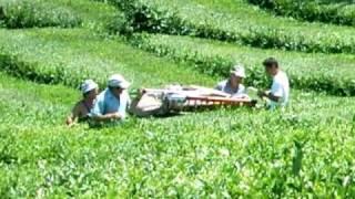 Tea growing and producing factory , Gorreana Azores