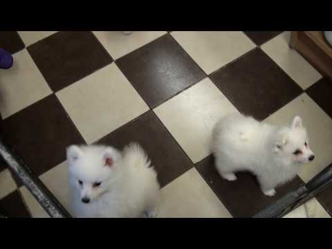 Little Rascals Uk breeders New litter of Japanese Spitz Puppies