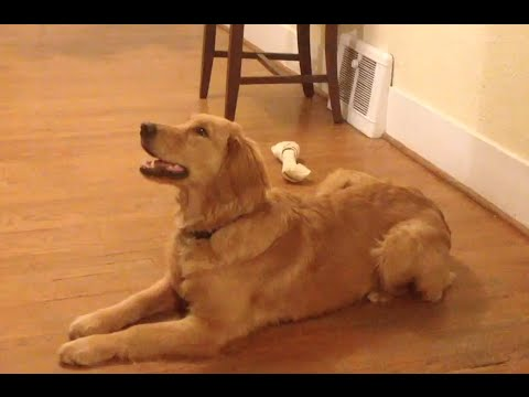 Dog Tricks: The Amazing Golden Retriever Luna!