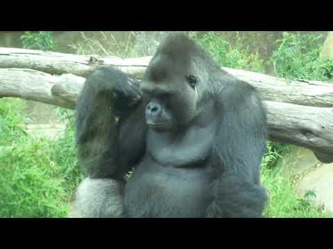 Gorilla Bangori is thinking ゴリラ バンゴリ考え中 15歳 サンタバーバラ動物園