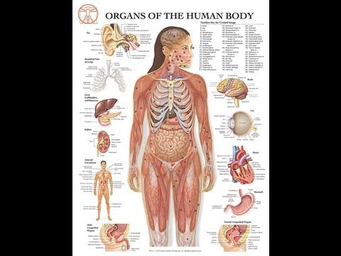 Human Anatomy : Female and male - YouTube