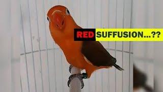 Burung Lovebird Warna Merah, Apakah Ini Red Suffusion ?