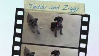 Teddy And Ziggy, Miniature Schnauzer Mixes Available For Adoption At The Wisconsin Humane Society