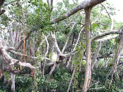 Massive Na tree at Isinbassagala Viharaya at Medawachchiya