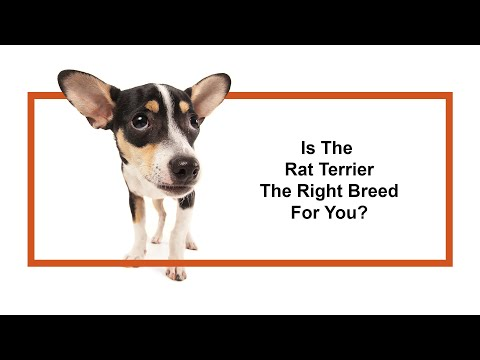 Everything Puppies - Rat Terrier Breed Information (2019)