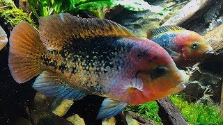 THESE FISH ARE BEAUTIFUL!! Cichlid tank scape