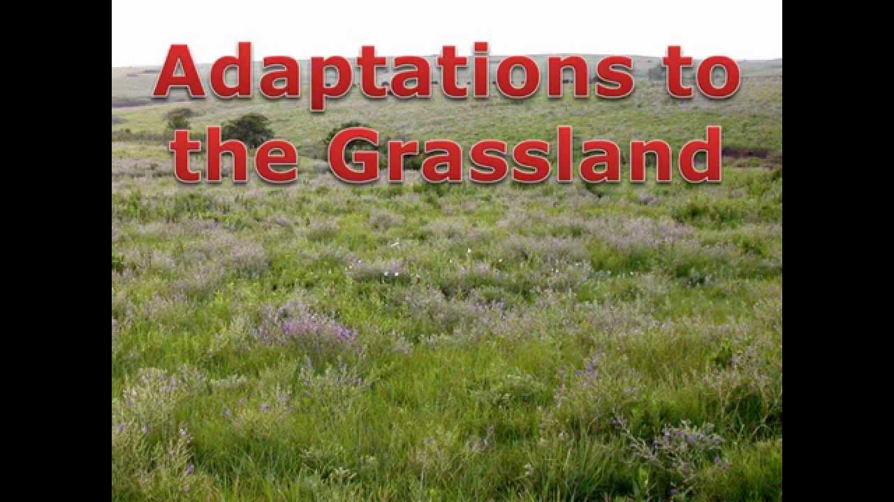 grassland adaptations youtube