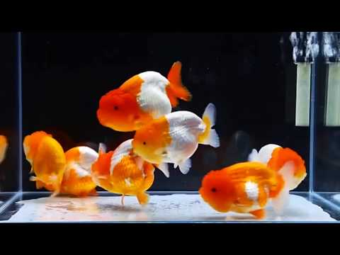 Japan 🇯🇵 Premium Goldfish Shop MIYABI