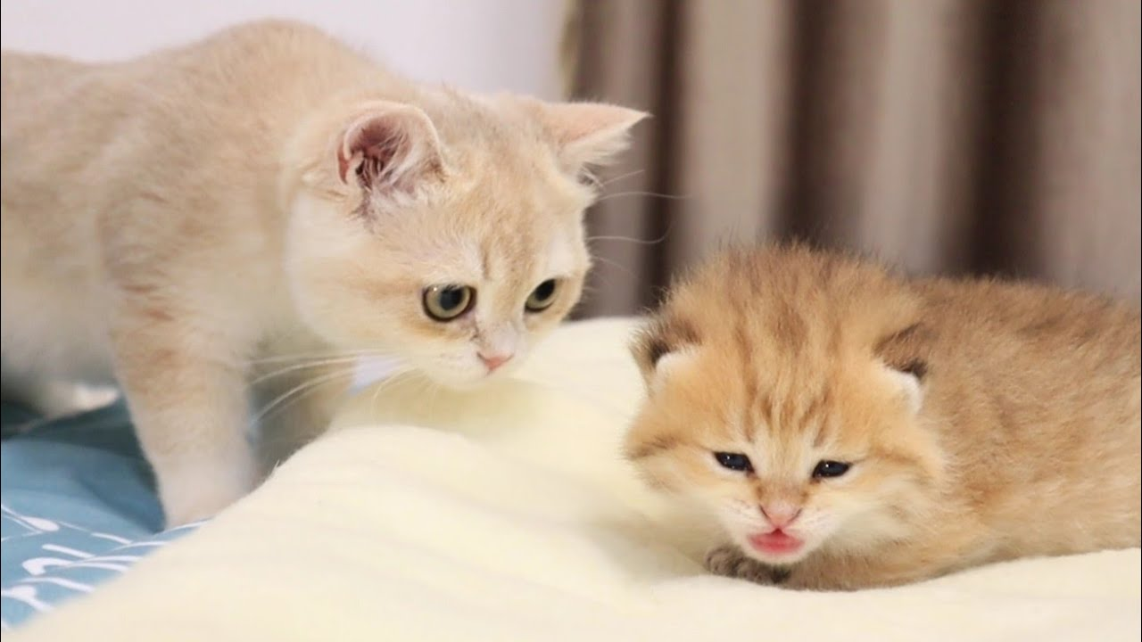 Kitty Caramel met her little brother for the first time.❤️ Too Cute