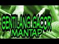 Sura Pikat Gentilang Gacor  Mp3 - Mp4 Download