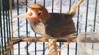 Suara Prenjak Betina GACOR Untuk PIKAT ,Download MP3 Terapi Burung Perenjak kepala Merah Macet Bunyi