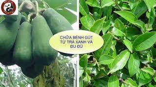 Chữa bệnh gút (gout) - Điều trị bệnh gút bằng đu đủ và trà xanh hiệu quả