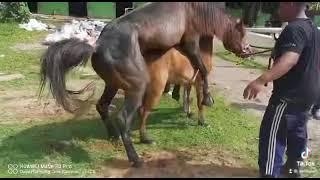 Cara Kuda Kawin 💪🏻🐎