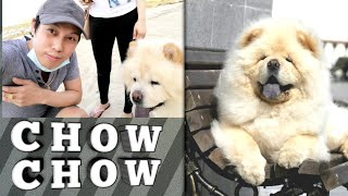 CHOW CHOW DOG | The Little Lion Breed | Cute Dog You Must See