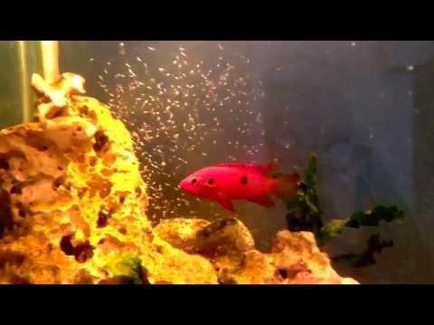 Jewel cichlid breeding
