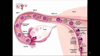 Fertilization, Implantation and Development.mp4