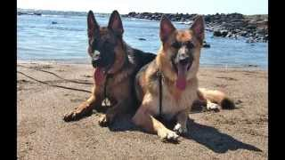 Meika And Gunter The German Shepherds At The Beach With Balanced Obedience Dog Training Of Hawaii