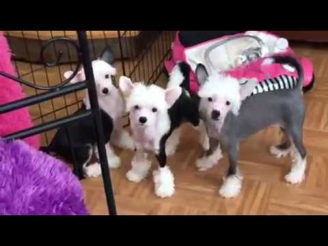 Extreme Chinese Crested 7/17/17