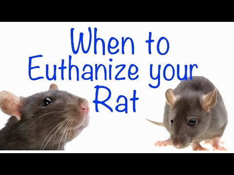 When To Euthanize Your Rat And How