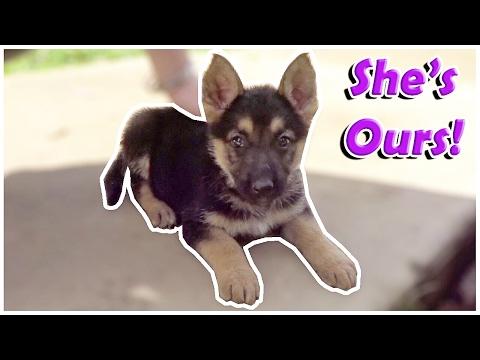 We chose our German Shepherd Puppy