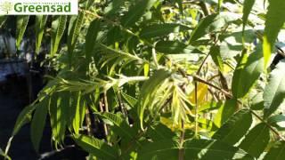 Уксусное дерево (сумах уксусный) - видео-обзор от Greensad(Экзотическое растение вырастает до 5-10 метров. Красивые декоративные листочки становятся осенью красного..., 2013-10-07T19:19:31.000Z)