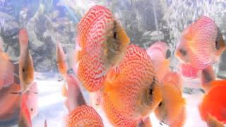 sunny discus in hong kong china discus aquarium fish farm 七彩神仙魚 (旭日水族)DSCN4174.MOV