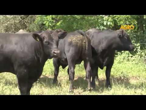 Ангус системата – сигурни печалби за българските фермери