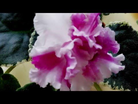 Фиалка ЕК Счастливый день/Описание сорта фиалки.//Первое цветение стартёра ЕК-Счастливый день!