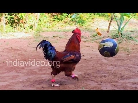 Eying World Cup? Get him in team - Rooster Playing Football