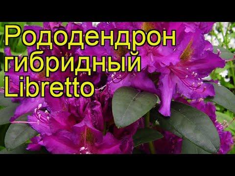 Рододендрон гибридный Либретто. Краткий обзор, описание характеристик Rhododendron Libretto