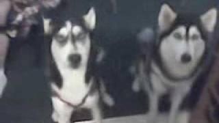 Siberian Husky Speaks Spanish (ziggy).3gp